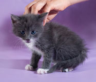 Small fluffy gray kitten sitting  on purple Royalty Free Stock Photo