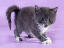 Small fluffy gray kitten standing on purple Royalty Free Stock Image
