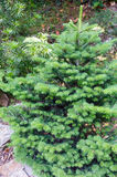 Small fluffy green fir tree. Royalty Free Stock Photo