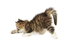 Small fluffy kitten Royalty Free Stock Image