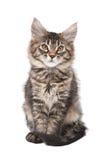 Small fluffy kitten Stock Images