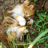 Small fluffy kitten Stock Photography