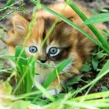 Small fluffy kitten Royalty Free Stock Photos