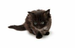 Small fluffy kitten isolated Royalty Free Stock Photos