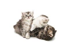 Small fluffy kitten isolated Stock Photo
