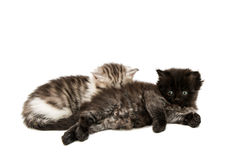 Small fluffy kitten isolated Royalty Free Stock Photo
