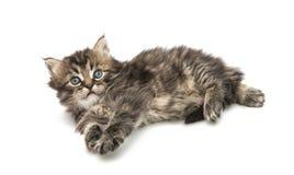Small fluffy kitten isolated Stock Image