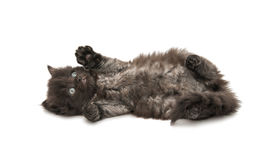 Small fluffy kitten isolated Stock Images