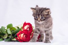 A small fluffy kitten near a bouquet of roses. Flowers for greet stock photo