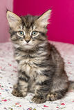 Small fluffy kitten sitting on a bed. Royalty Free Stock Photography
