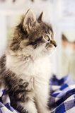 Small and fluffy kitten Stock Photos