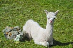 Small fluffy lama. Lama at the altiplano mountains green grass. Furry lama Stock Photography