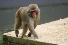 Small fluffy monkey Royalty Free Stock Photos