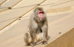 Small fluffy monkey Stock Photography