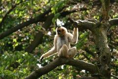 Small fluffy monkey Royalty Free Stock Photo