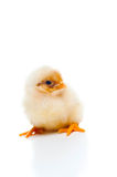 Small and fluffy newborn chick, isolated on white. One Small and fluffy newborn chick, isolated on white, sitting Royalty Free Stock Photo