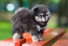 Small fluffy Pomeranian puppy Stock Photos