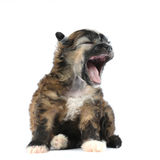Small fluffy puppy sits and yawns Stock Photography