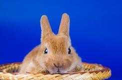 Small fluffy rabbit Royalty Free Stock Photo