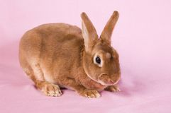 Small fluffy rabbit Stock Photography