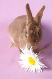 Small fluffy rabbit Royalty Free Stock Photography