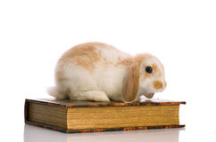 Small fluffy rabbit sitting on a book Royalty Free Stock Images