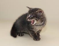 Small fluffy tabby kitten  aggressive Stock Photo