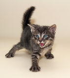 Small fluffy tabby kitten aggressive Royalty Free Stock Image