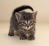 Small fluffy tabby kitten with green eyes sneaks up Royalty Free Stock Images
