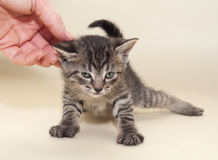 Small fluffy tabby kitten and hand on yellow Royalty Free Stock Photography