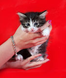 Small fluffy tabby kitten sitting on hands on red Royalty Free Stock Photos