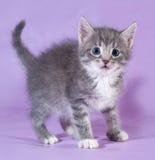 Small fluffy tabby kitten standing on purple Stock Photography