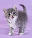 Small fluffy tabby kitten standing on purple Stock Image