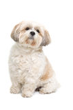 Small fluffy white dog Royalty Free Stock Photography