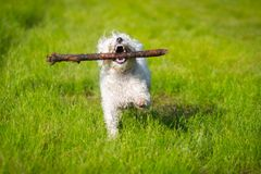 Dog playing with stick. Small fluffy white dog playing with a stick stock photos