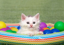 Small fluffy white kitten in a blow up pool Royalty Free Stock Images