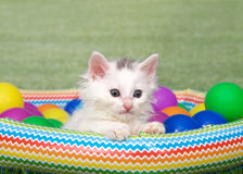 Small fluffy white kitten in a blow up pool Stock Images