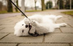 Small, fluffy, young white Samoyed puppy lays on the ground looking at the camera and biting her leash. Samoyed puppy, only 2 or 3 months old, playfully biting stock photos