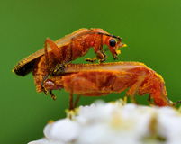 Small flybug. Rhagonycha mate in pollen Stock Photo