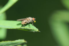 Small fly Stock Photography