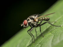Small Fly Royalty Free Stock Photo