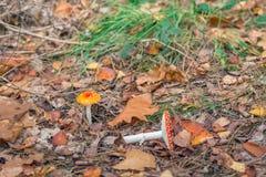 Small fly agaric mushroom Royalty Free Stock Photo