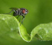 Small fly on curly green leaf Royalty Free Stock Photo