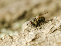 Small Fly Insect royalty free stock photo