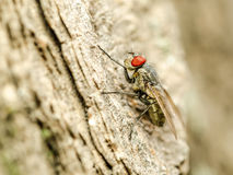 Small Fly Insect With Red Eyes Royalty Free Stock Photography