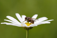 Small fly ob the flower Stock Photography
