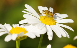 Small fly on an ox eye daisy Royalty Free Stock Images