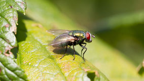 Small fly resting Royalty Free Stock Photos
