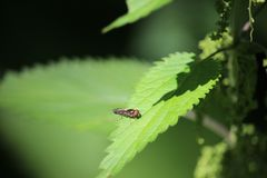 Small fly sitting on a stinging nettle leaf. Photo, summer Stock Image