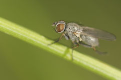 Small fly on some grass.  Stock Photo